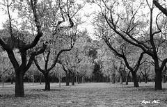 Quinta de los Molinos ByN (Agus MC) Tags: madrid park parque blackandwhite bw tree byn blancoynegro canon flor quinta quintadelosmolinos suances almondtree almendrosenflor almendos ixus105 agusmc