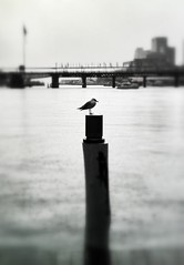 alone (picsie14) Tags: travel winter sea wild sky blackandwhite seagulls seascape blur cute bird texture rain clouds interestingness interesting wings wind bokeh harbour wildlife seagull details sydney style sguardo serenity nsw winner stunning mostinteresting darlingharbour cropped drama dramaticsky birdwatching hdr beautifulclouds seaview travelblog seabirds tilting iphone australianbirds australianwildlife interestingness2 veryinteresting sydneyskyline travelphotography dramaticcloud mostbeautiful birdsofaustralia aviaria nativebirds wildnature edgeblur interesting2 sharpimage tacksharp bestshotoftheday dramaticblackandwhite cutebirds dramaticcontrast seainwinter iphoneography dramaticstorm snapseed odonovansontourblogspotcom