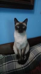 Posudo ;D (Dany_chan22) Tags: cat gato felino siams