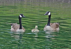 Canada Goose pair with gosling (Branta canadensis) (Paul Hueber) Tags: bird nature animal canon florida wildlife aves handheld canadagoose brantacanadensis centralflorida canonef100400mmf4556lisusm brevardcounty