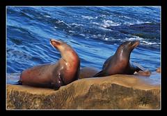 Sea Lions at the La Jolla Cove (I take photographs) Tags: ocean california ca beach wet water canon photography surf sandiego wave lajolla pinnipeds seals sealion dslr otariidae arctocephalinae arctocephalus otaria eumetopias otariinae callorhinus neophoca genuszalophus