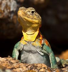Wichita boomer (Lindell Dillon) Tags: nature canon reptile wildlife wichitamountains collaredlizard flickraward mountainboomer oklahaoma photocontesttnc12 reddirtpics