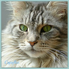 Floris (Cajaflez) Tags: portrait pet cat eyes kat chat longhair whiskers mainecoon katze ogen portret gatto huisdier kater floris tomcat pedigree snorharen mfcc thegalaxy abigfave kissablekat bestofcats impressedbeauty raskat catmoments 100commentgroup saariysqualitypictures mygearandme blinkagain bestofblinkwinners rememberthatmomentlevel4 rememberthatmomentlevel1 rememberthatmomentlevel2 rememberthatmomentlevel3 rememberthatmomentlevel7 rememberthatmomentlevel5 rememberthatmomentlevel6 rememberthatmomentlevel8