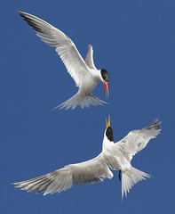 I don't know what they're saying!!! (bmse) Tags: canon fly flying fight wings flight socal 7d elegant bolsa tern wingspan span bolsachica 400mm sternaelegans bmse baazizi
