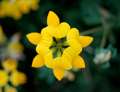 Bird's Foot Trefoil Star