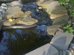 scylla and charybdis (dksalerni) Tags: pond frogs scyllaandcharybdis