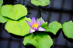 Kew Gardens 01 (BuddhaPete) Tags: kewgardens kew waterlily royalbotanicgardens nymphaeaceae kewroyalbotanicgardens