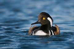Hooded Merganser (Drake) (Mike Lentz Photography) Tags: minnesota ducks waterfowl quack michaellentz mikelentz mikelentzimages mikelentzphotography