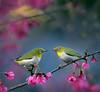 #793 小綠春曉 (John&Fish) Tags: bird nature birds wow photography taiwan best 2012 deepavali mfcc physis contemporaryartsociety innamoramento redmatrix imageourtime agorathefineartgallery
