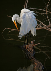 Ruffled   [Explored] (soccersc(Jim Allen)) Tags: bird birds wildlife ngc explore charlestonsc interiordesign waders greategret herons egrets birdwatcher summervillesc ardeaalba wildlifeart wildlifephotography thegalaxy explored fineartprints lakeashborough mygearandme mygearandmepremium mygearandmebronze mygearandmesilver mygearandmegold mygearandmeplatinum mygearandmediamond photographyforrecreationeliteclub naturallyjimallen