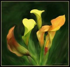 5 callas - painting (edenseekr) Tags: calla digitalpainting lilies corelpainter11