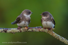 hampshire bewildered sandmartins naturethroughthelens pipexcellence andymorffew morffew