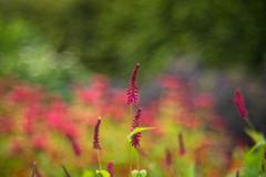 Persicaria (tonybill) Tags: flowers gardens bokeh july surrey miscellaneous wisley rhswisley rhs sonya7 meyeroptikgorlitztrioplan28100