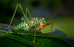 Welcome to the Jungle (kathybaca) Tags: animal animals insect insects katydid carnivorous green monster pitbull predator big invertabrate bugs bug scary earth world planet nature macro