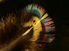 Rainbow Feather..x (lisa@lethen) Tags: feather rainbow colours nature bird macro