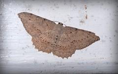 Sterrhinae tbi (dustaway) Tags: arthropoda insecta lepidoptera geometridae sterrhinae australianmoths australianinsects lismore northernrivers nsw nature