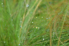 Fresh morning (dfromonteil) Tags: grass herbe vert green nature plante plant macro bokeh gouttes droplets eau water rose