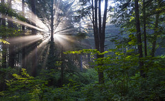 Sunshine through the Trees (Olympic National Forest, Olympic peninsula, WA) (Sveta Imnadze.) Tags: nature landscape trees sunshine olympicnf olympicpeninsula washingtonstate pacificnorthwest