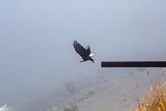 20160814-IMG_8952 (Jason Foy) Tags: americanbaldeagle coastaldefenseforts fortflagler jasonfoy pacificnorthwest statepark washington marrowstone unitedstates us