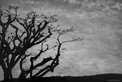 My tree....this time in B&W (Joe Hengel) Tags: tree treebranch branch branches theoc orangecounty oc outdoor bw blackandwhite monochrome morning socal southerncalifornia sanjuancapistrano california clouds ca silhouette silhouettes