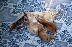 breakfast at mom's (the foreign photographer - ) Tags: dscaug212016sony mother cat litter kittens khlong thanon bangkhen bangkok thailand sony rx100