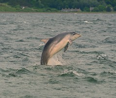 Breaching Dolphin (richbriggs28. Love being a grandad :)) Tags: richbriggs28 scotland blackisle bottlenosedolphin dolphin morayfirth chanonrypoint breaching