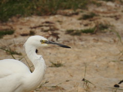 Little Egret (jackthornton2432) Tags: s outstanding portait very