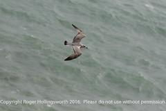 Juvenile Black Backed Seagull (doublejeopardy) Tags: bird mist thelizard gale seagull cornwall places sea lizard england unitedkingdom gb