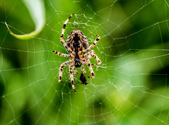 spider preparing its meal (PDKImages) Tags: spider spiders webs macro beauty silhouettes legs creepy danger feeding striped pounce nature