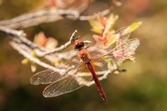 (Laszlo_Almasy) Tags: insect insectos dragonfly libelle liblula macrophotography macrofotografia macro