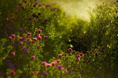 Water droplets (gavinsherlock) Tags: helios442 helios 442 58mm swirl bokeh water spray backlight morning russian m42 canon 5dmkiii