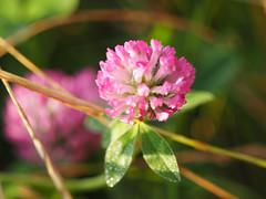 Krlewskie-Miasto-Krakw (arjuna_zbycho) Tags: krakw krakau polska polen poland hauptstadt history herbst koniczynka kwiat blume flower