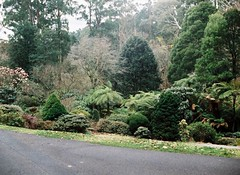 Green trees and tree ferns (Matthew Paul Argall) Tags: minolta110zoomslrmarkii 110 110film lomographyfilm trees tree treefern ferntree fern plant plants yarraranges