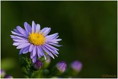 Bloempje (HP015974) (Hetwie) Tags: purpleflower natuur workshop flower bloem paarsbloempje auvergne nature hauteloire frankrijk