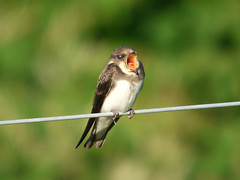 Sand Martin (Peanut1371) Tags: sandmartin martin bird brown white wire mouth yellow nationalgeographicwildlife