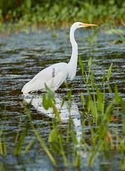 Aug 30 201610828 (Lake Worth) Tags: animal animals bird birdwatcher birds canonef500mmf4lisiiusm canoneos1dxmarkii everglades feathers florida nature outdoor southflorida waterbirds wetlands wildlife wing