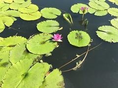 (MyChixpix) Tags: nature lilypond colors summer lilypads