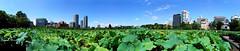 #8829 panorama of lotus pond () (Nemo's great uncle) Tags: autostitch panorama    nelumbonaceae  lotus nelumbonucifera nelumbo nucifera flora flower  shinobazu  shinobazupond ueno  taitku  tky