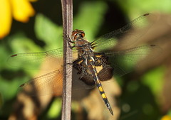 Black Saddlebags (Tramea lacerata) (Gavin Edmondstone) Tags: tramealacerata blacksaddlebags dragonfly shellpark oakville ontario olympus300mmf40isproedmzuiko gx8