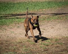 Favorite Activity (Maggie McGunigle) Tags: outdoor dog park run fetch action brindle pitbull mix rescue jack russell terrier ball catch harness pet portrait petrait activity barkpark summer light