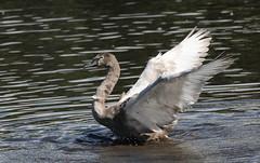 Young Mute Swan (themadbirdlady) Tags: cygnusolor anserinae cygnini airthreyns8096 anatidae anseriformes muteswan stirlinguniversity
