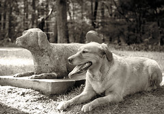 Olive and Co (Photato Jonez) Tags: cemetery olive dog golden retriever hound pup puppy trees tree tombstone alex day nikon d3300 morning