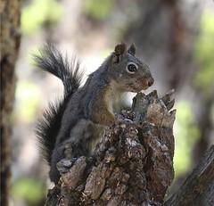 Douglas's Squirrel, Lassen Volcanic NP, CA 08-26-16 (Kent Van Vuren) Tags: douglass squirrel