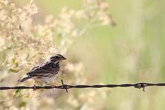 Savannah sparrow, Greenhouse Ln, Hines, Oregon (jlcummins - Washington State) Tags: oregon travel canon bird savannahsparrow sunshinegroup coth alittlebeauty sunrays