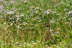 Mallard (jaycees2012) Tags: greatbritain birds ducksgeeseandswans mallard england eastofengland minsmererspbreserve suffolk anasplatyrhynchos anatidae animalia aves unitedkingdom suffolkcoastaldistrict gb