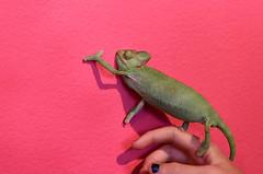 Chameleon (Beth Reynolds) Tags: chameleon lizard pink green eyeballs feet pet smile reptile animal veiled