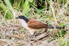 CUCAL  ---   Centropodinae (Ezio Donati) Tags: animali animals natura nature nikond810 uccelli birds raro rare africa cameroun foresta forest