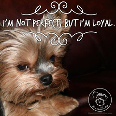 You are pretty close to perfect in my book. (itsayorkielife) Tags: yorkiememe yorkie yorkshireterrier quote