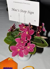 Mac's Stop Sign (MJI Photos (Mary J. I.)) Tags: avsminnesota avsm africanviolet africanvioletsociety flowers statefair mn minnesota minnesotastatefair2016 flowershow blooming houseplants show plants plantshow twincitiesgesneriads gesneriads saintpaulia gesneriad statefairfriday dsc4021 macsstopsign