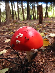 IMG_20160831_103850 (Alisa Jahary) Tags: forest mushroom mushrooms micology photo fly amanita agaric